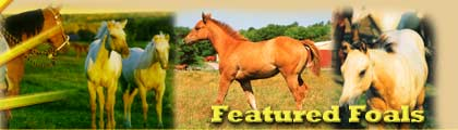 Sunup Ranch Quarter Horses - Featured Foals - Halter-Point Producer by Star Eyed Jack